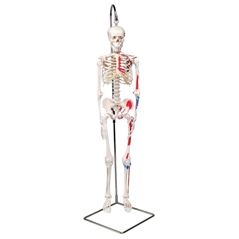 Tolle Markiertes Skelett Galerie - Menschliche Anatomie Bilder ...
