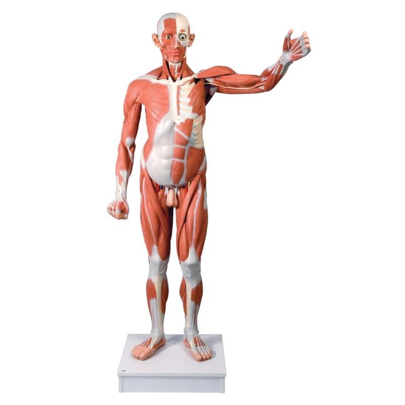 Modell Muskel Mann Lebensgröße 37 teilig   Techni Science Deutschland
