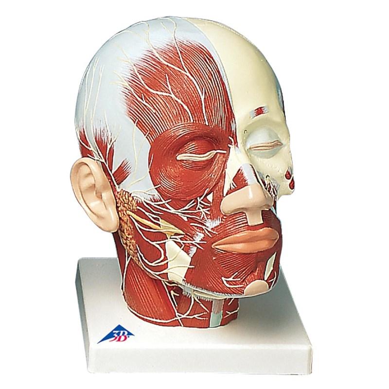 Modell Kopf Muskeln und Nerven | Techni Science Deutschland