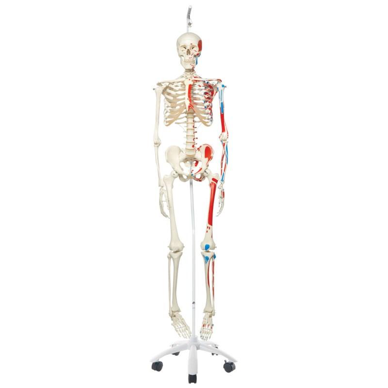 Skelett mit Muskeln auf hängendem Stativ   Techni Science Deutschland