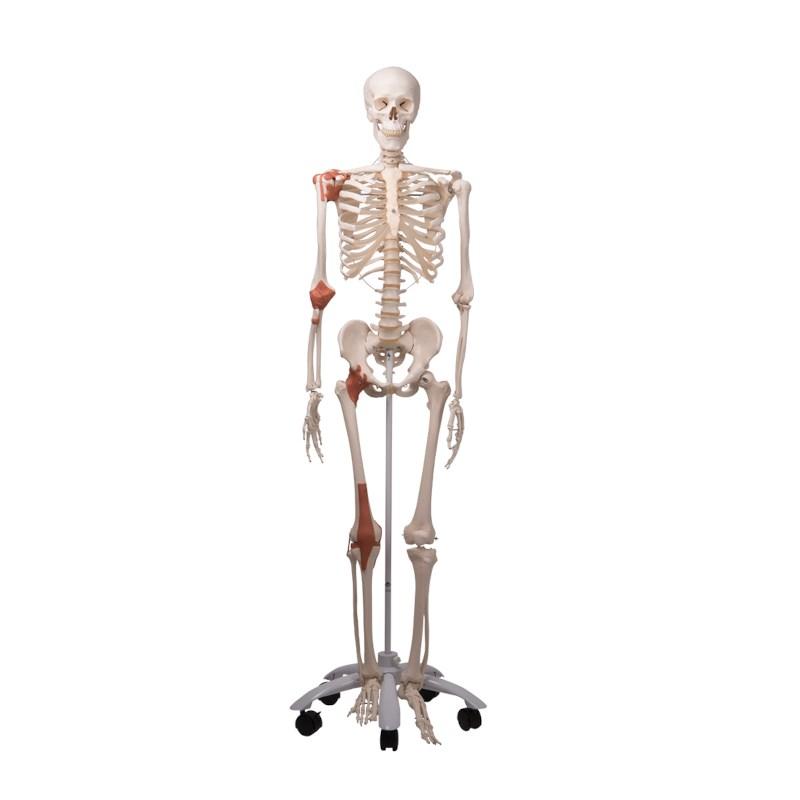 Skelett Mann mit Bändern und Muskeln   Techni Science Deutschland