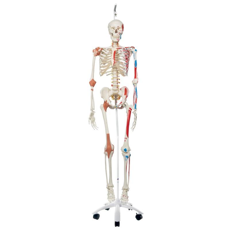Skelett Mann mit Bändern und Muskeln hängend   Techni Science ...