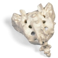Skelet heiligbeen en staartbeen