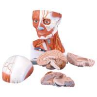 Spiermodel hoofd en hals 5 delig