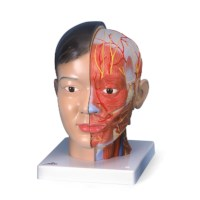 Model hoofd en hals Asian 4 delig