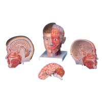 Model hoofd en hals 4 delig
