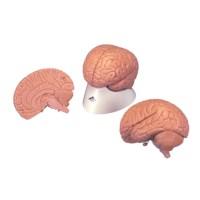 Model hersenen  2 delig