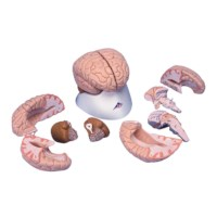 Hersenen 8 delig