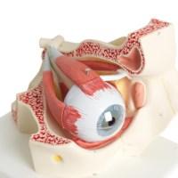 Model Oog met oogholte 3x vergroot
