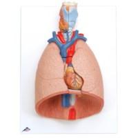 Model Larynx/Hart/Longen
