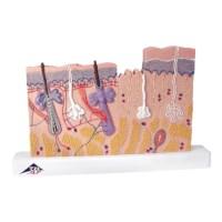 Model huid  in relief 40 x vergroot
