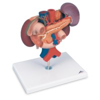 Model nieren en buikorganen