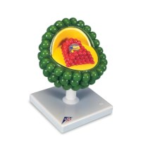 Model Aids-Virus