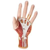 Model anatomie van de hand
