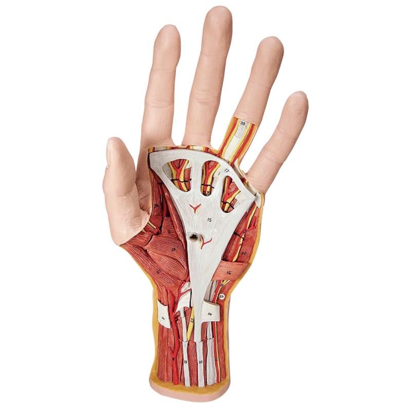 Model anatomie van de hand | Techni Science Nederland