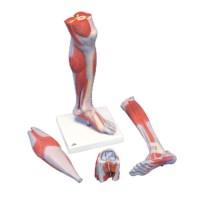 Model onderbeen met knie en spieren