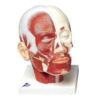 Model Hoofd met oppervlaktespieren