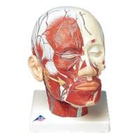 Model hoofd, spieren plus bloedvaten