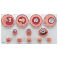 Embryo ontwikkeling 12 stadia