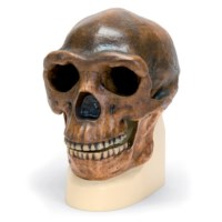 Schedel Homo Sinanthropus