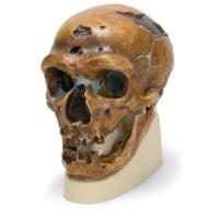 Schedel Neanderthaler