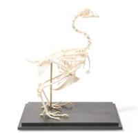 Skelet kip