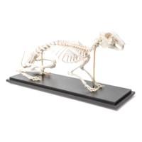 Skelet Haas