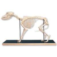 Skelet hond
