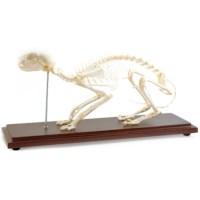 Skelet kat