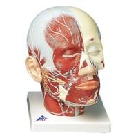 Model Hoofd spieren en zenuwen