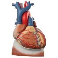 Hart op middenrif 10 delig