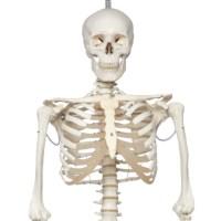 Skelet mens flexibel hangend