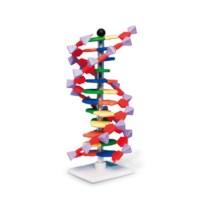 DNA Model basic